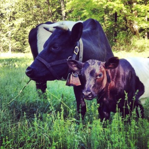 Photo Credit: Dutch Belted Cattle Association of America