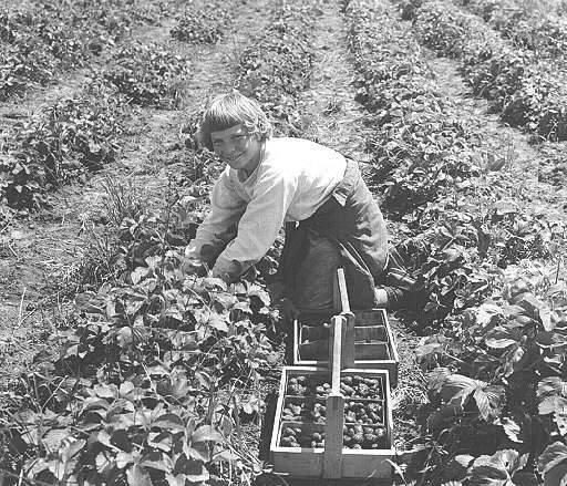 Strawberry Harvest.jpg